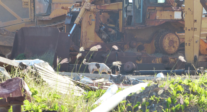 Stray Dogs And Derelict Vehicles At Argyle International Airport.