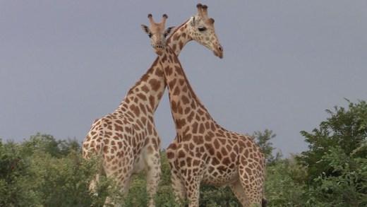 Giraffes Cmc