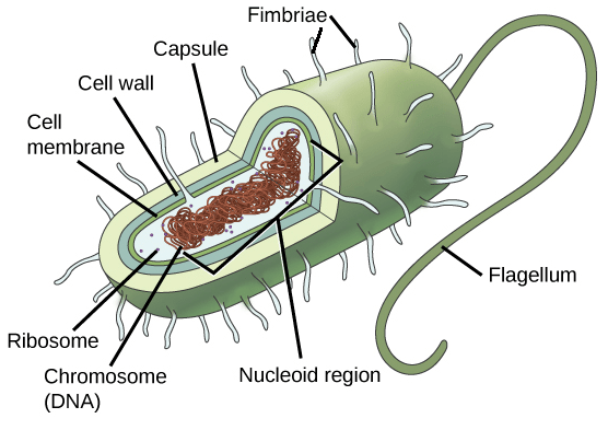 Image of: Typical Image Of Typical Prokaryotic Cell With Different Portions Of The Cell Labeled Brainlyin Prokaryotic Cells article Khan Academy
