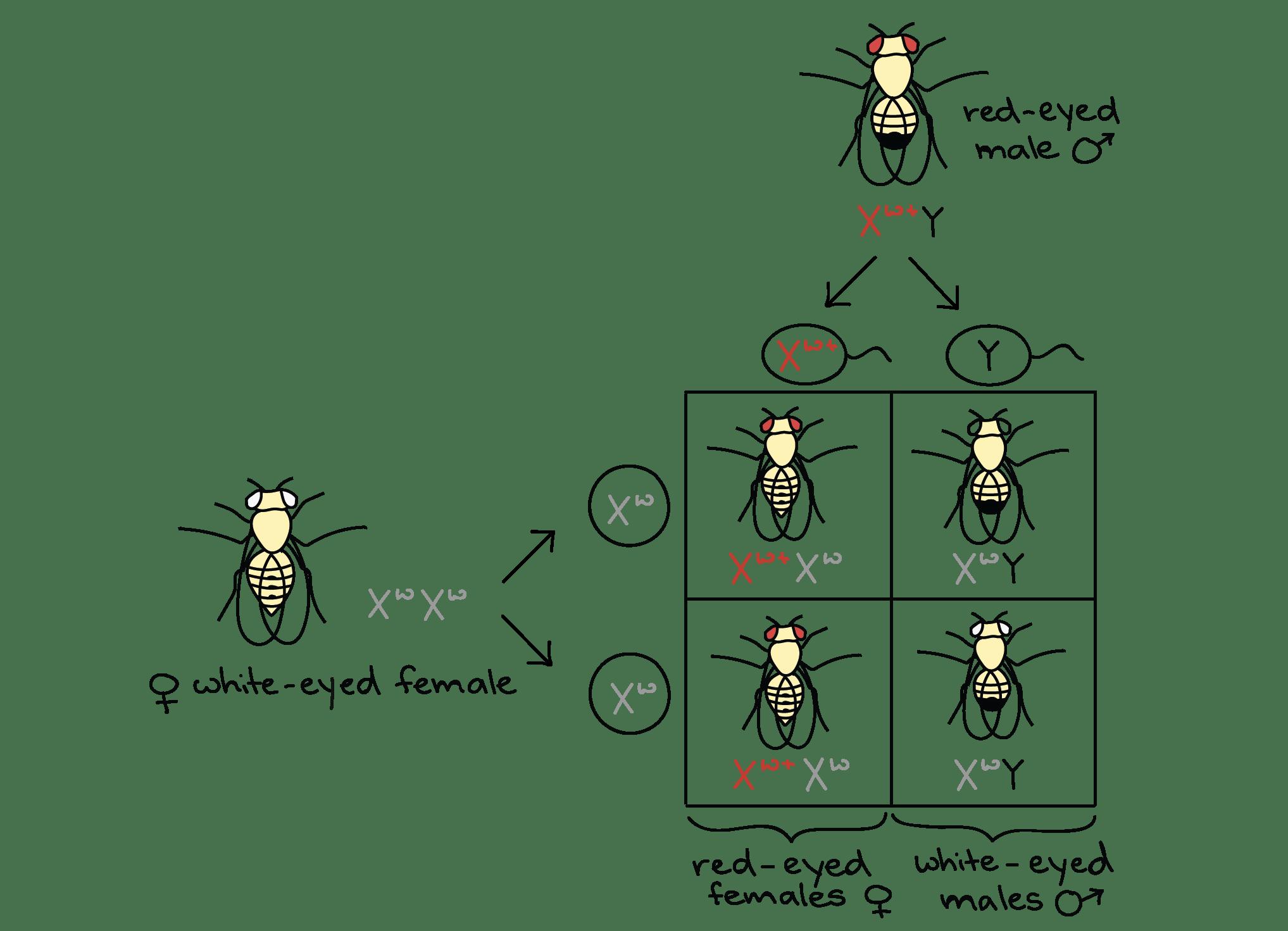 Mcq On Genetic Basis Of Inheritance Mcq Test Molecular Basis Of Inheritance Neet Notes