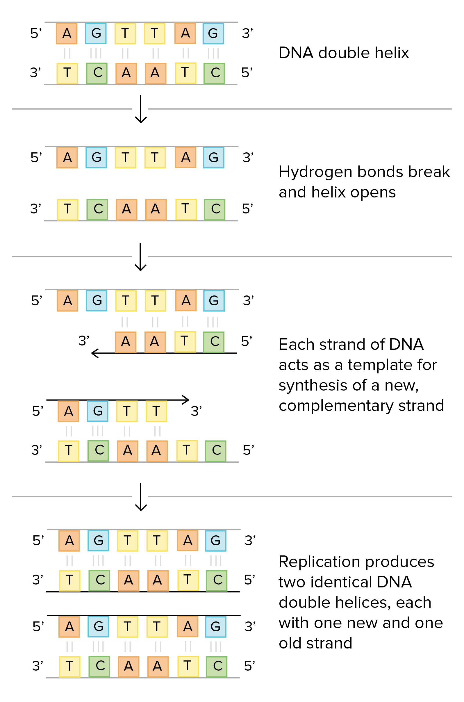 Meselson And Stahl Experiment Explanation Mode Of Dna