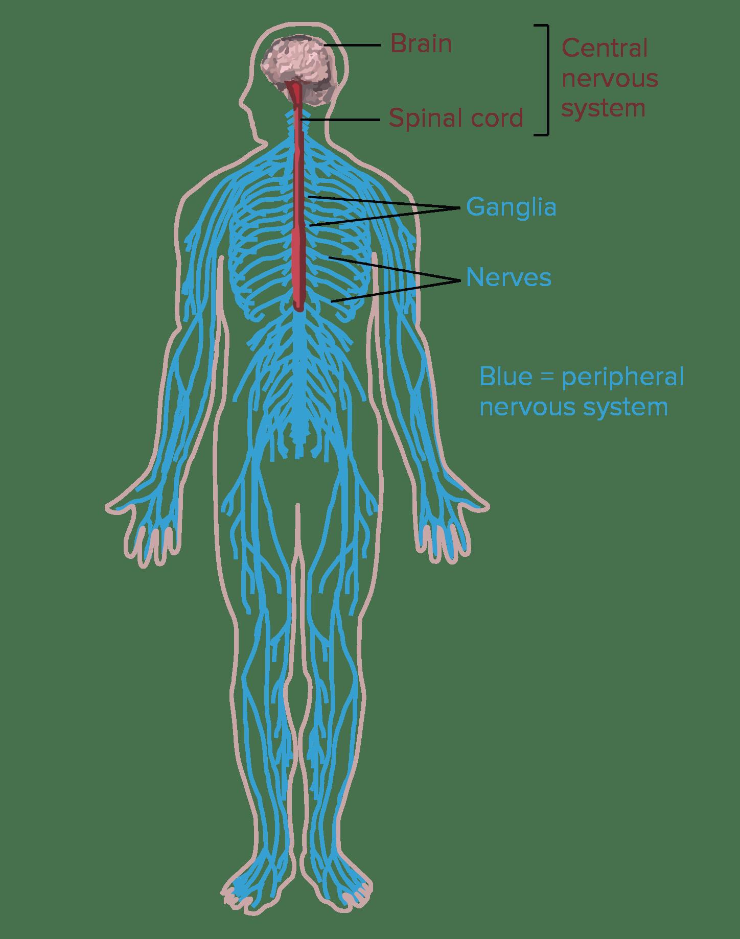 Labeled Knee Jerk Reflex Diagram