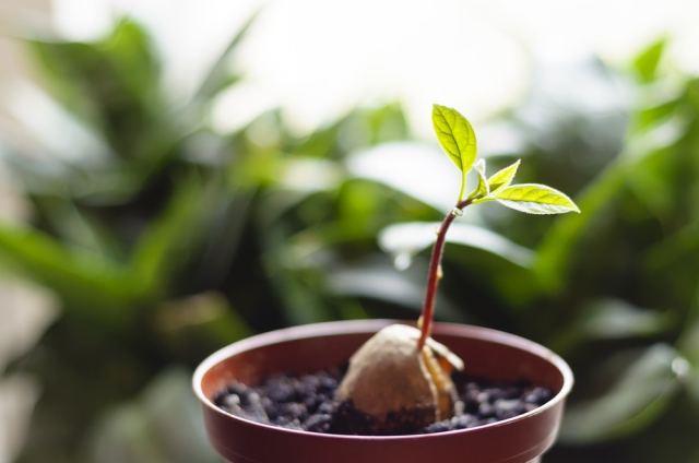 Cómo sembrar un aguacate