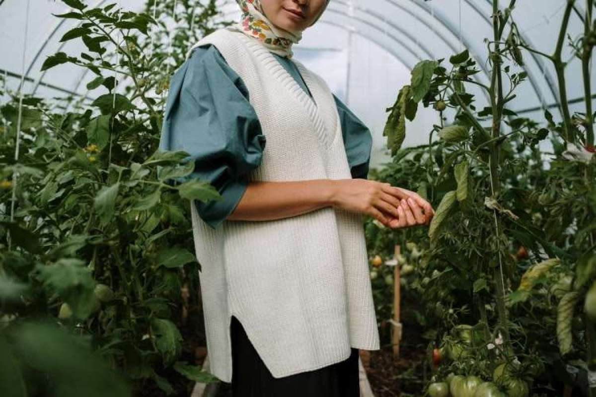 Pozor, sadikam paradižnika grozijo okužbe z virusom rjave grbančavosti plodov.