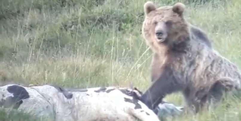 medved, italija