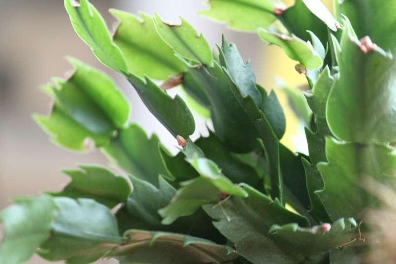 cvetovi božičnega kaktusa