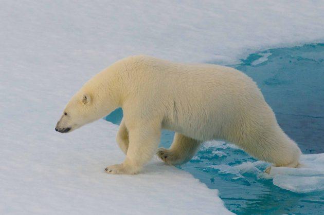 Интересные факты: белых медведей нельзя обнаружить с помощью тепловизора