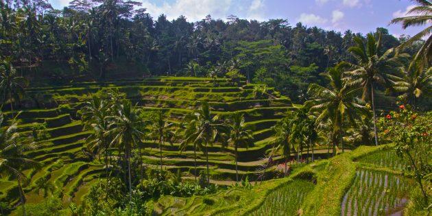 Территория Азии не зря привлекает туристов: рисовые террасы Тегаллаланг, Индонезия