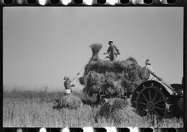 Pitching rice into wagon. Crowley, Louisiana.  September 1938.  Russell Lee, photographer (1903-1986) Courtesy of Library of Congress