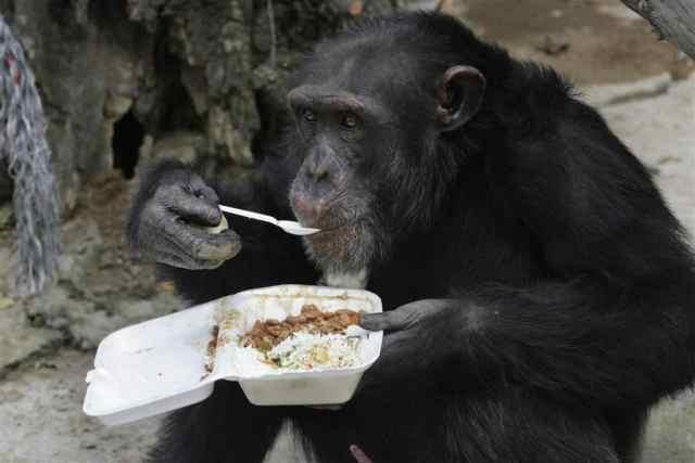 chimpanzee intelligence facts
