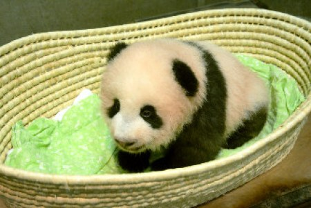 「パンダ」の画像検索結果