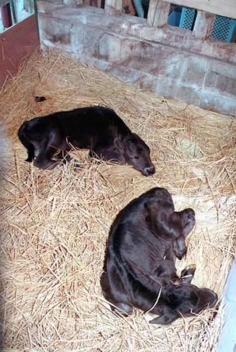 石川県畜産総合センターで誕生した成牛の体細胞を使ったクローン牛=1998年7月5日、駒崎秀樹写す