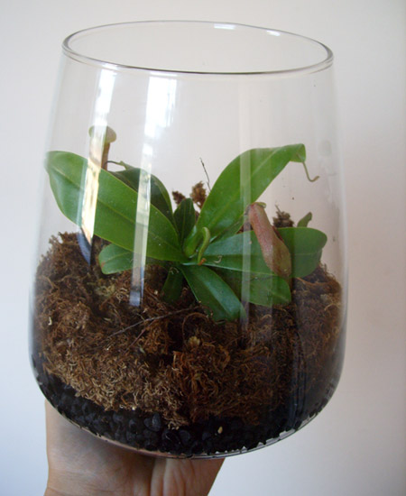 Nepenthes Terrarium2