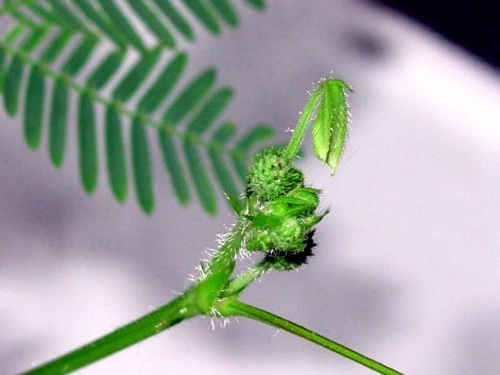 Tickleme Plant First Flower 009