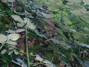 blackberryinnaturalhabitat.jpg