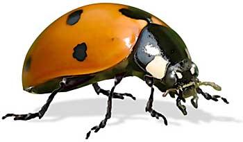 ladybug-lrg.jpg