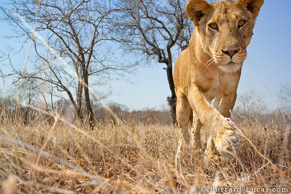 beetlecam_lion.jpg
