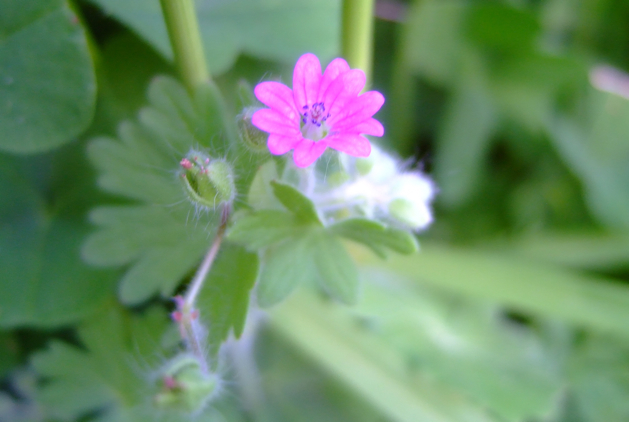 tinygeraniumflower.jpg