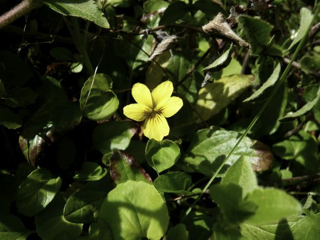 yellowpoppy.jpg