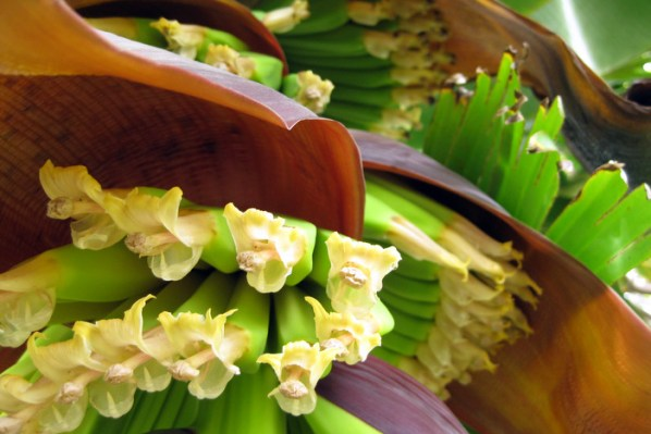 Have you ever seen banana flowers before?