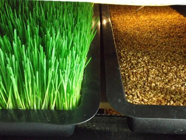 11-27-12-barley-fodder-production-system-01022