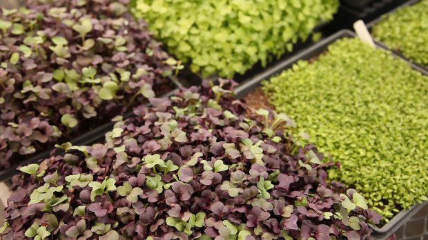 Trays of micro greens grown in a greenhouse, go from seed-and-soil to edible plant in about 10 days.