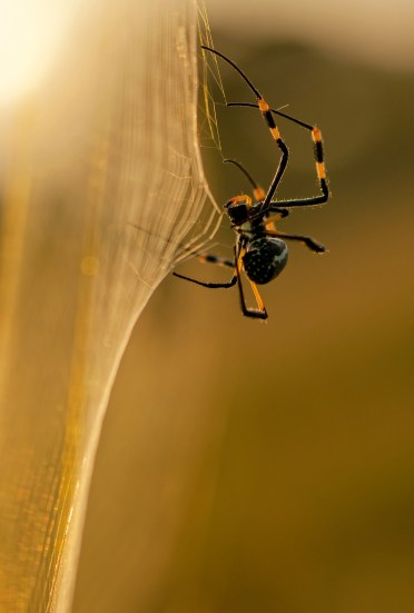 Golden orb spider. Copyrighted photos provided by Arnold Glas, Ornilux. Copyright.