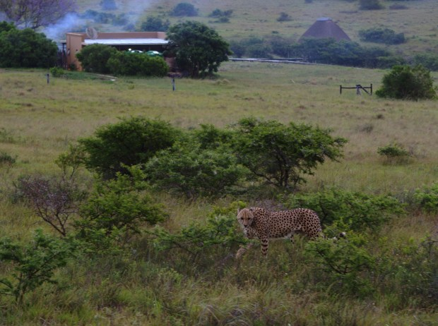 A cheetah was spotted close to the lodge.