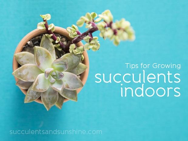 succulentsandsunshine_growing_succulents_indoors