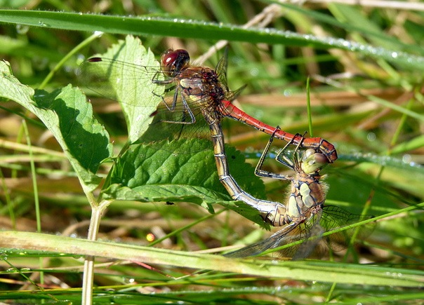 Dragonflies mating. Photo by Nottsexminer.
