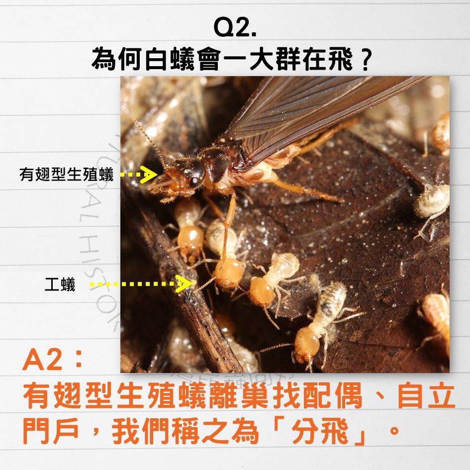 白蟻分飛的季節好可怕!白蟻十問懶人包,羨慕黃蜂女有翅膀 - 每日頭條