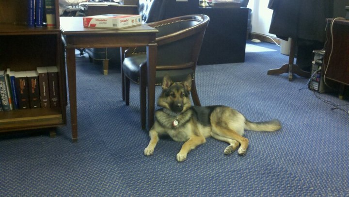Daisy, an 8 year old German Shepherd Mystery Mix, has hung out in the office since 2011. (Courtesy House Ways & Means)
