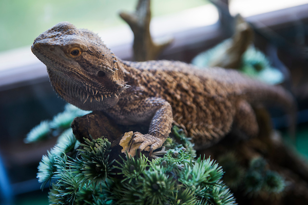 UNITED STATES - SEPTEMBER 04: Bruce, Sen. Roy Blunt's, R-Mo., bearded dragon, is seen in Russell Building on Wednesday, September 4, 2019. (Photo By Tom Williams/CQ Roll Call)