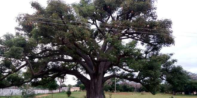 7302020125801-typbsferqm-1596020037408 the-boabab-tree
