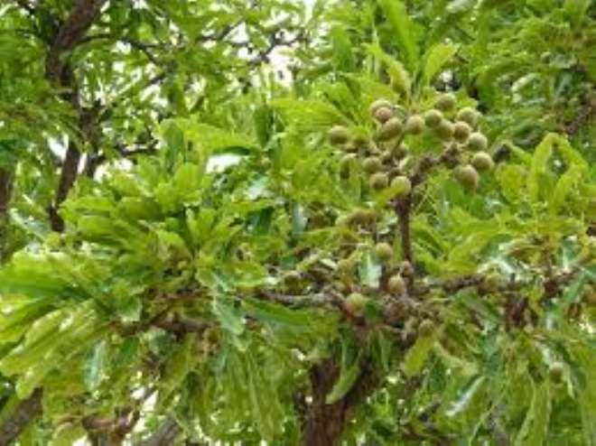 7302020125802-k5frj7u2h1-1596020074519 fresh-shea-fruits-on-the-tree