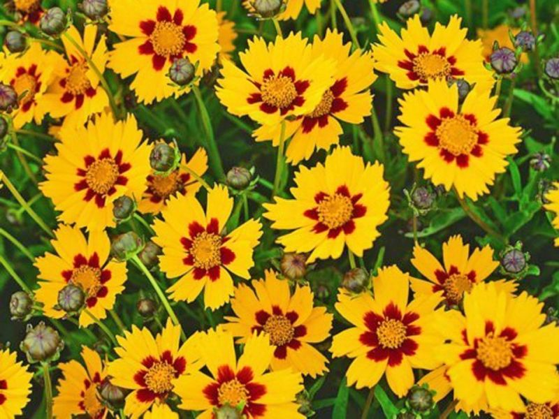 56 Beautiful Summer Flowers That Will Transform Any Exterior 2  Coreopsis