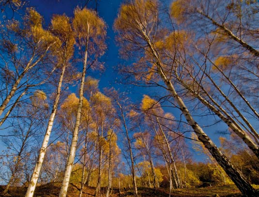 Golden coloured trees against a blue sky