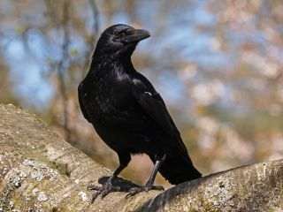 Facts About Crows Live Science