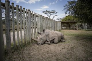 Scientists harvested eggs from the only two living northern white rhinos. Here, Najin recovers after her eggs are collected, while Fatu (Najin's daughter) undergoes the same procedure in another enclosure.