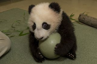 Cute Panda Cub Plays Ball Live Science