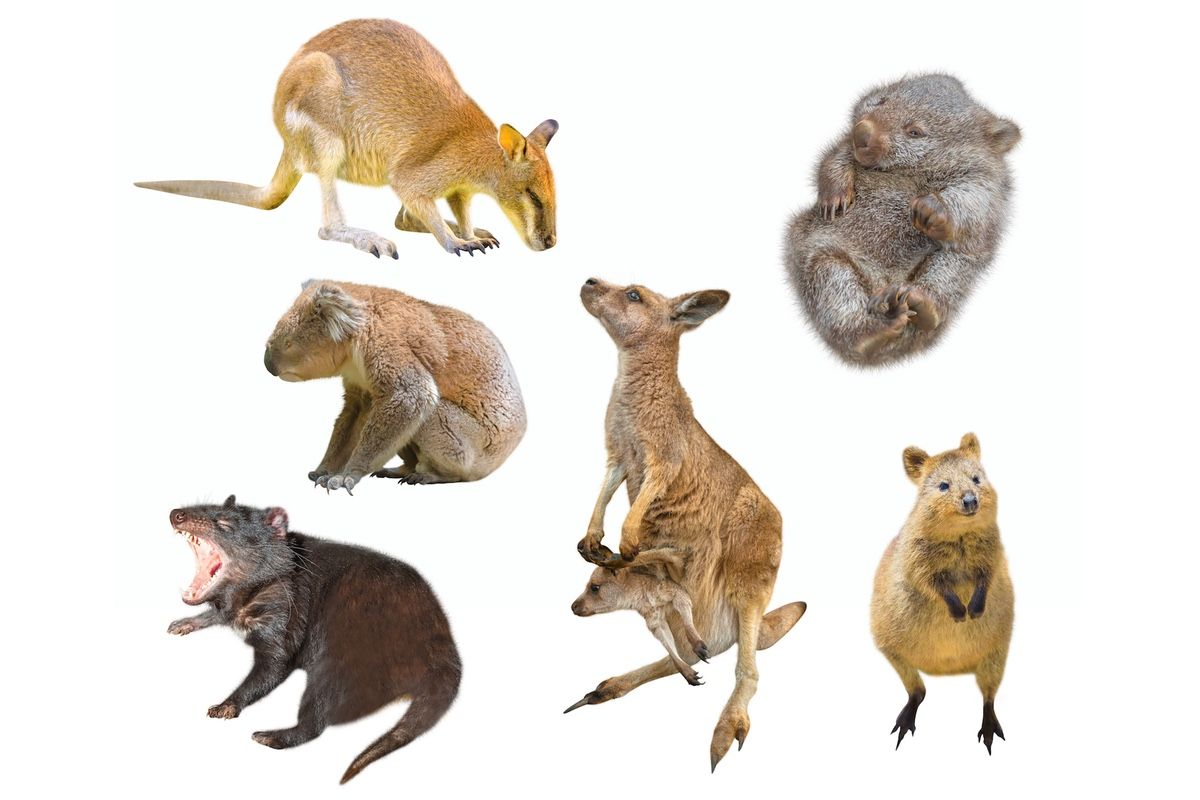 Why Are There So Many Marsupials In Australia