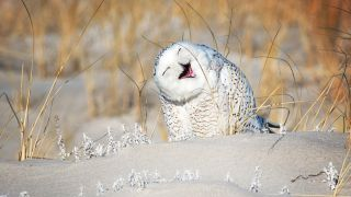 A snowy owl appears to be laughing.