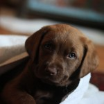 Chocolate Labs Are Less Healthy Than Their Black And Yellow Puppy Pals Live Science