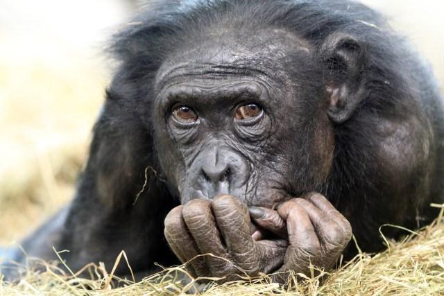 are chimpanzees apes
