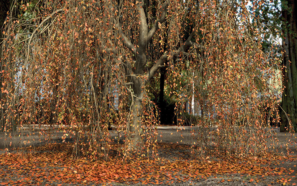Weeping willow tree with brown leaves fallen below it