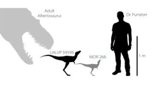 Researchers have found a toe claw (shown in yellow, second from left) and jawbone (shown in blue, third from left) of baby tyrannosaurs that lived between 75 million and 70 million years ago in North America. For scale, here are reconstructions of the tyrannosaur babies compared with an adult Albertosaurus tyrannosaur (left) and lead researcher Gregory Funston.