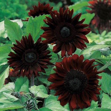 Sunflower Black Magic F1 Seeds from Mr Fothergill s Seeds and Plants Sunflower Black Magic F1