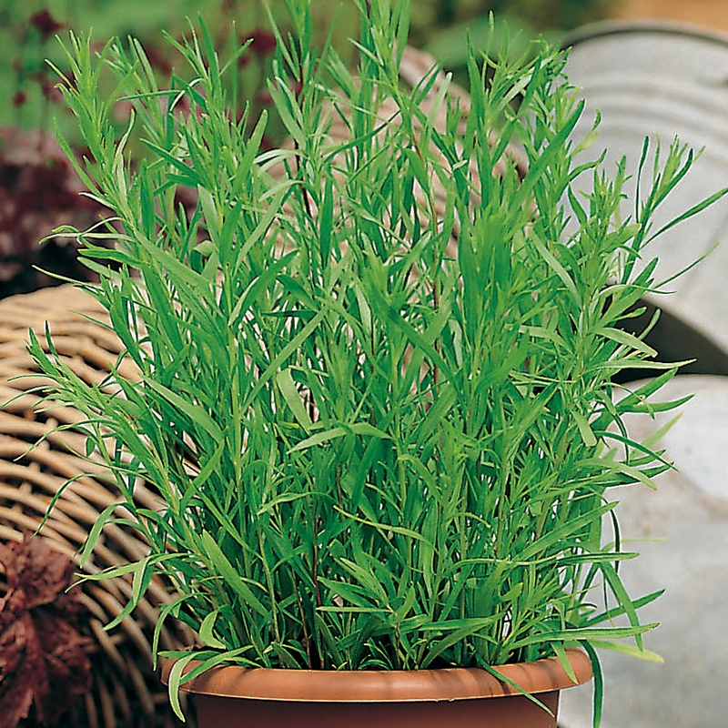French Tarragon Herb Plants From Mr Fothergill S Seeds And