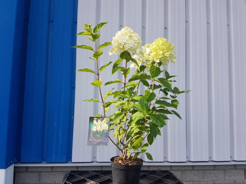 Pluimhortensia Hydrangea Paniculata Limelight Hortensia