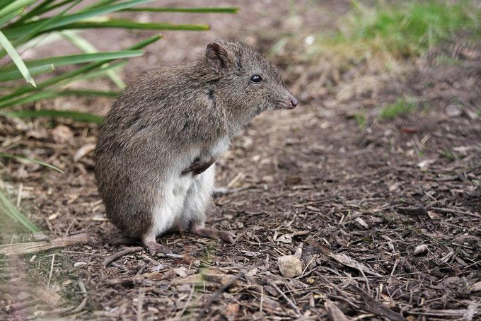 The northern long-nosed potoroo (Potorous tridactylus), a tiny truffle-eating marsupial, had its entire habitat in northern New South Wales, Australia, wiped out by a fire in October 2019.